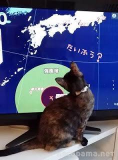 台風接近のニュースを見る猫