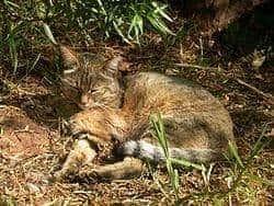 家猫の祖先 : リビアヤマネコ