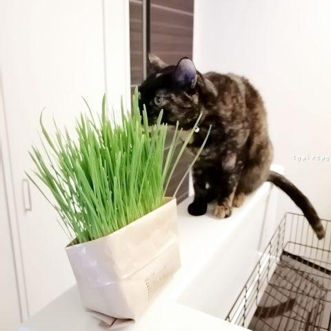 無印良品*猫草を育てて与えてみた