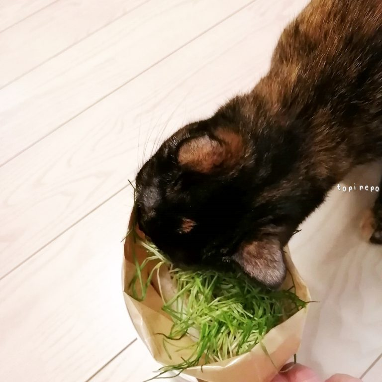 猫草を食べつくす