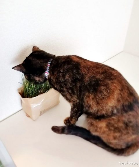 この猫草なんか少なくない?