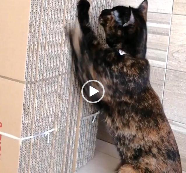 てっちゃんのお猫さまらしい爪パリ(動画)