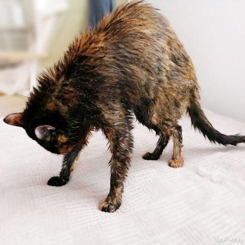1年ぶりにお猫さまをお風呂へ入れました。