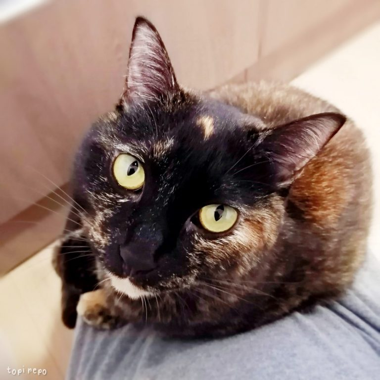 膝に乗るサビ猫