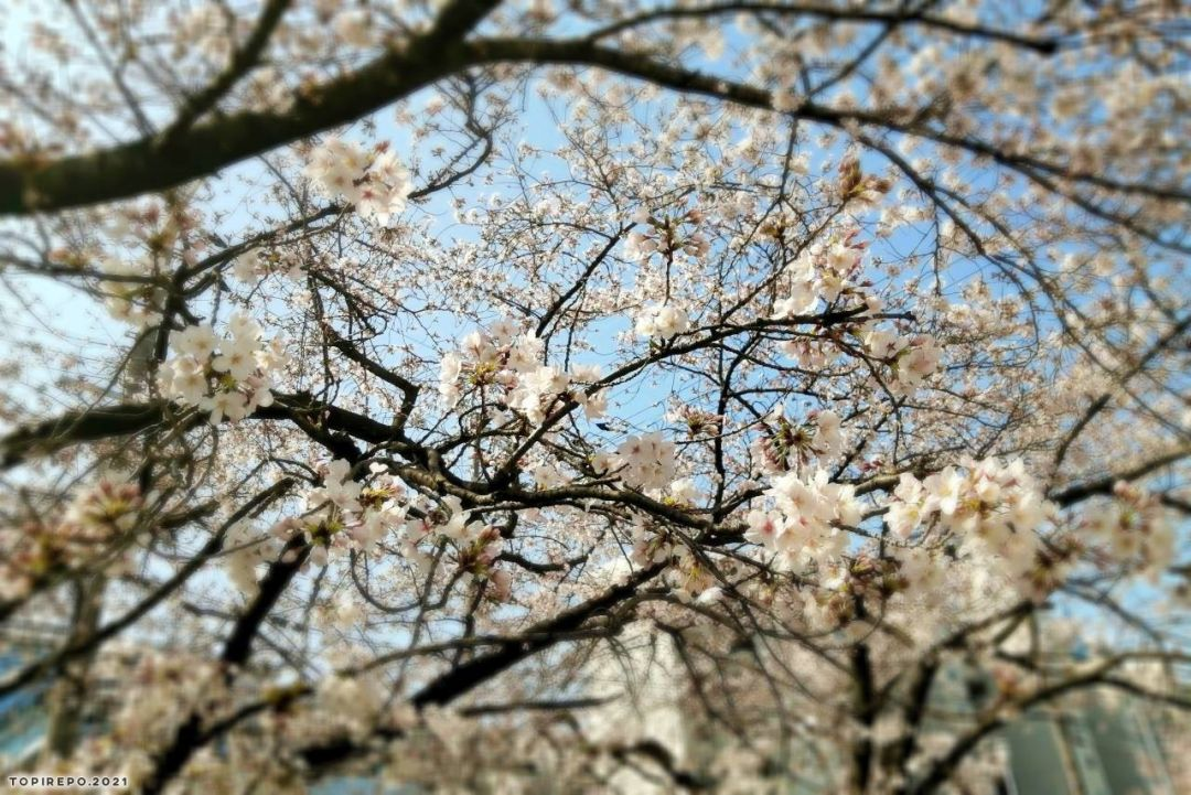 ささやかに春を感じる巣ごもり中:2021❀桜逢瀬