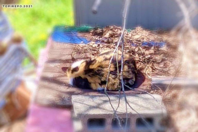 昼寝中の三毛野良猫