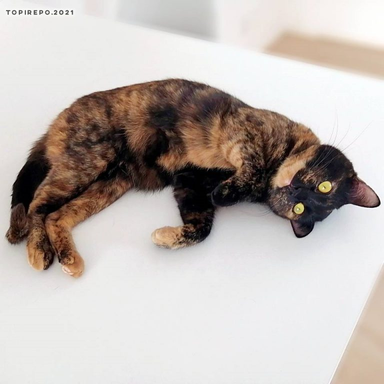 リビングテーブルの上の猫