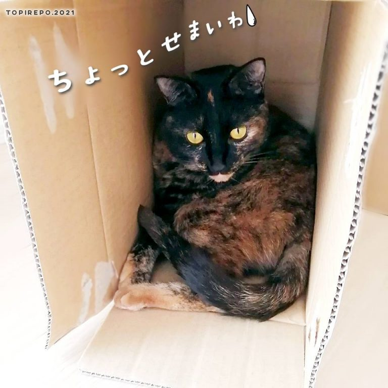 狭いダンボールに入る猫