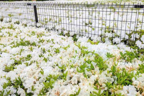 白ツツジの花言葉は「初恋」とな。